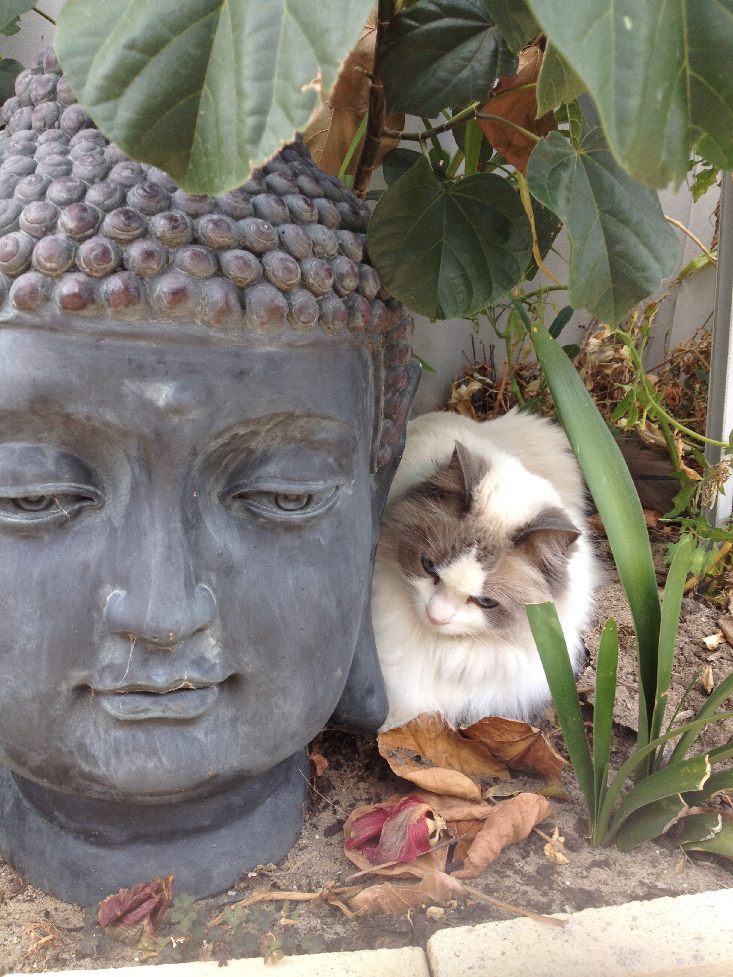 Just sharing my thoughts with Budha Fancy cats, Cat