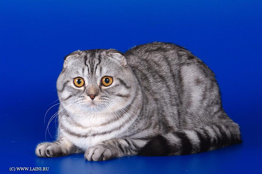 спирс порода кошек шотландцы картинки плодотворную деятельность сближению