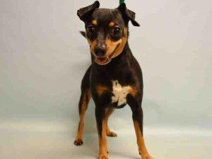 Mimi A1070142 Dogs Dog Adoption Homeless Pets