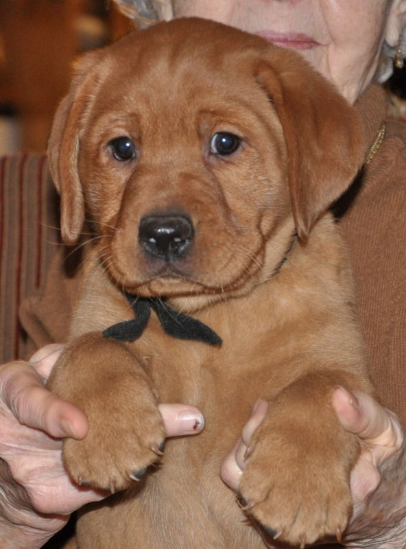 Red Moon Fox Red Lab Puppies Red Lab Puppies Lab Puppies