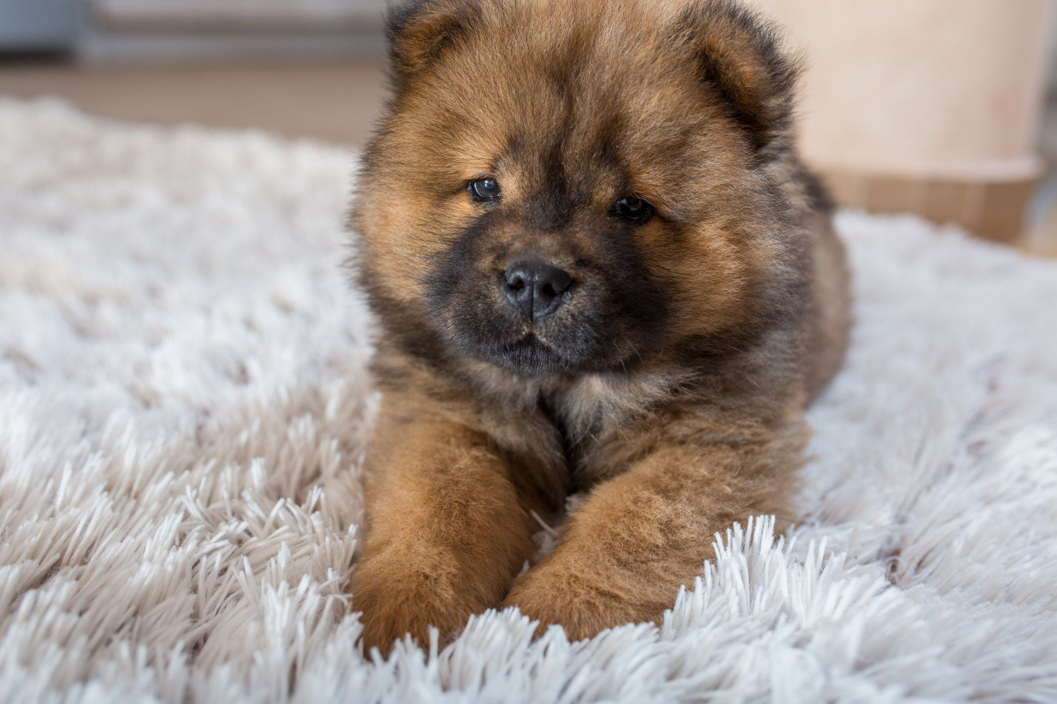 Chow Chow Puppy Puppies Mini Puppies Dog Breeds