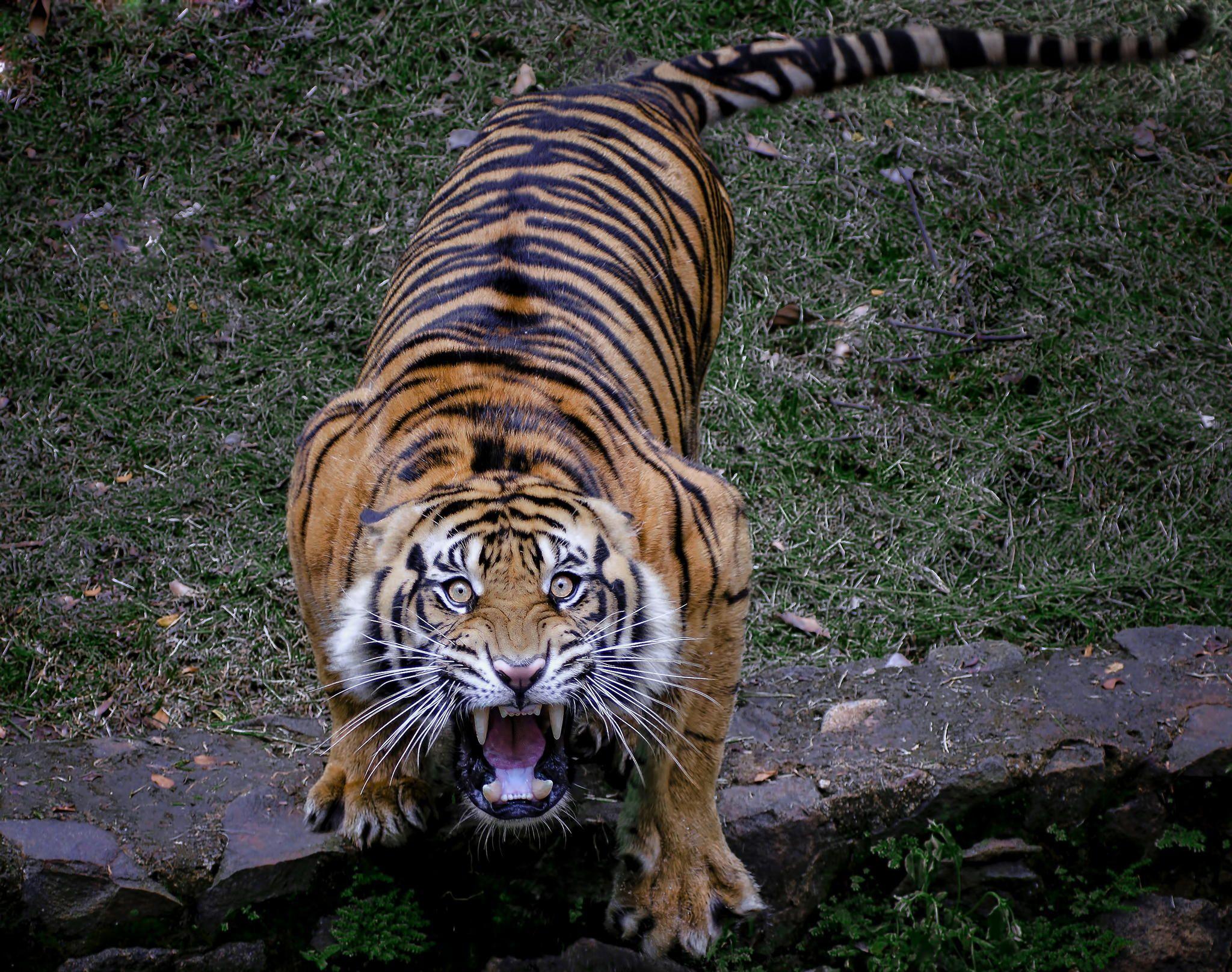 Tiger Sumatran Scream by Robert Cinega on 500px Animals