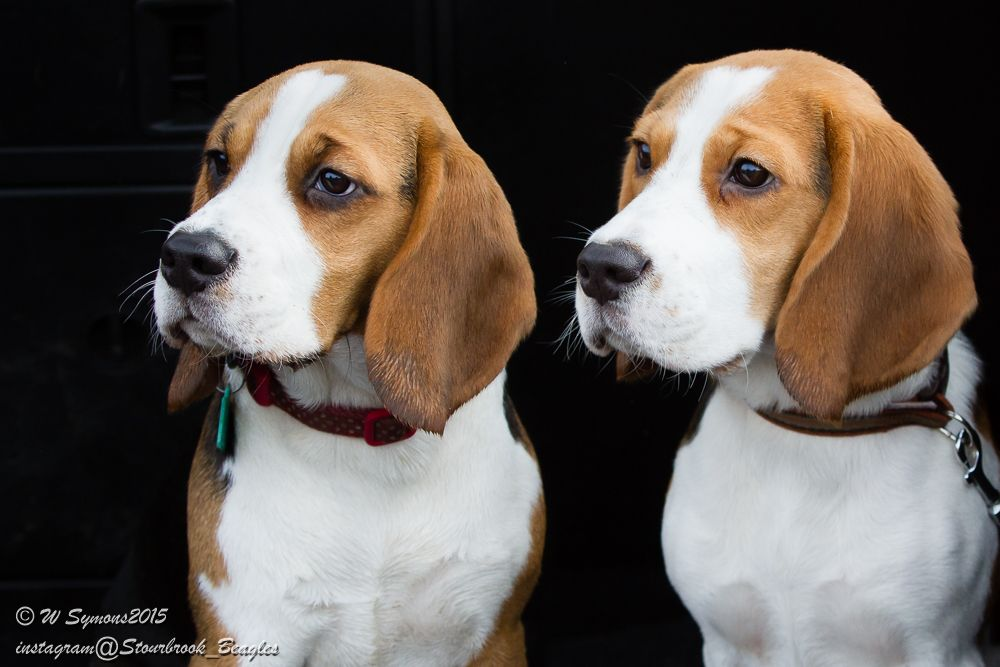 We Look Alike At Times We Even Talk Alike Beagle Breeds