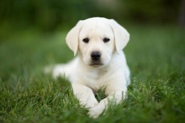 Photo of How to Take Care of a Labrador Retriever – Step 2