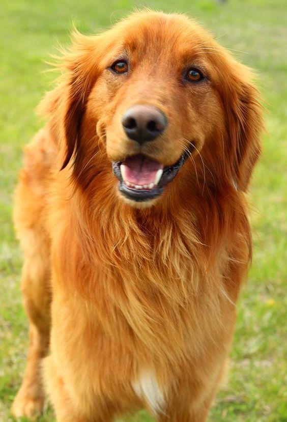 Beautiful Golden Retriever smile #GoldenRetriever | Golden ...