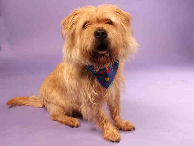 Talking Dogs at For Love of a Dog: Adopt Lombardi a Senior Cairn Terrier Dog in MO