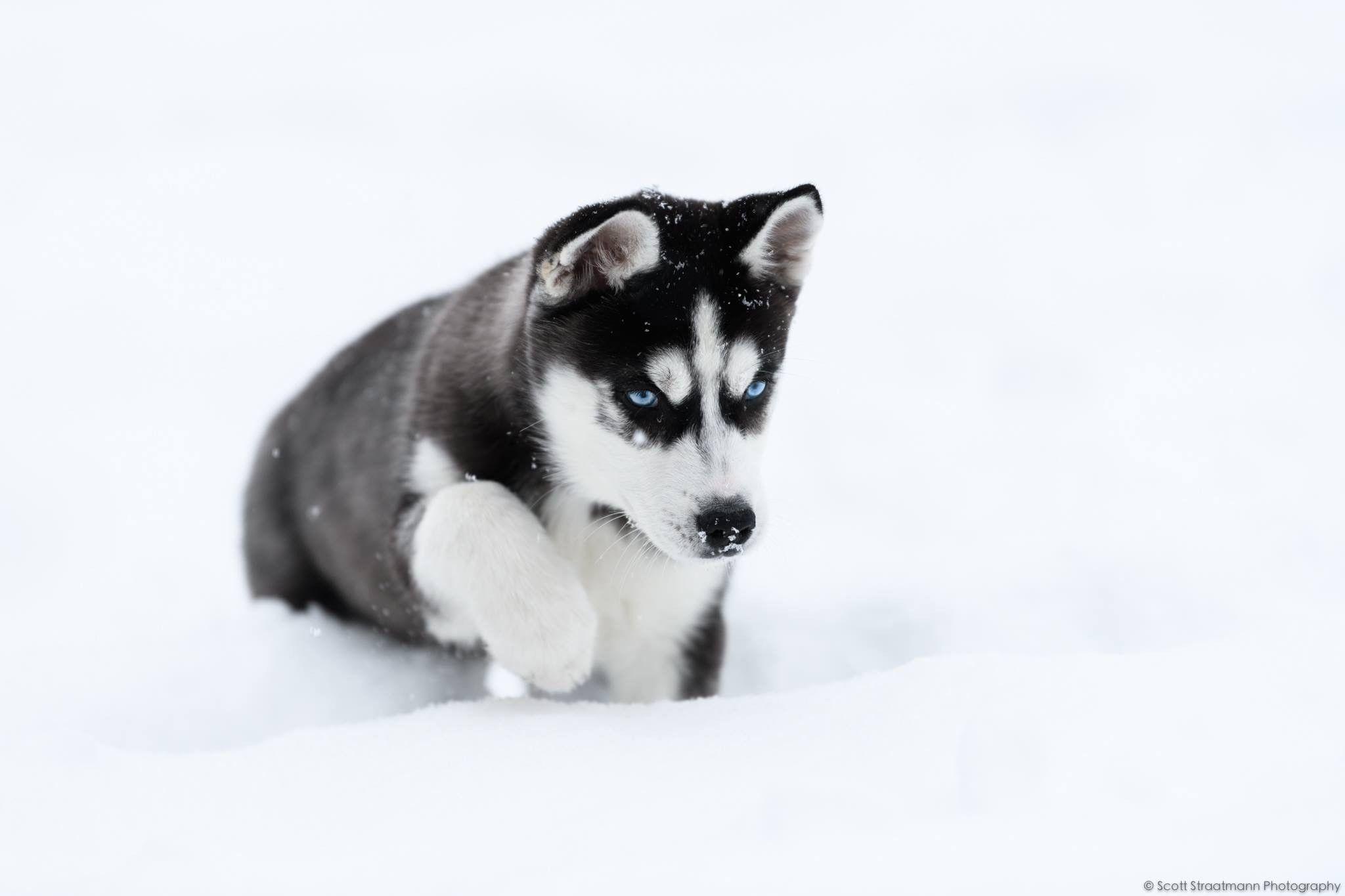 Husky Puppy Playing In Snow Husky Siberian Husky Husky Puppy
