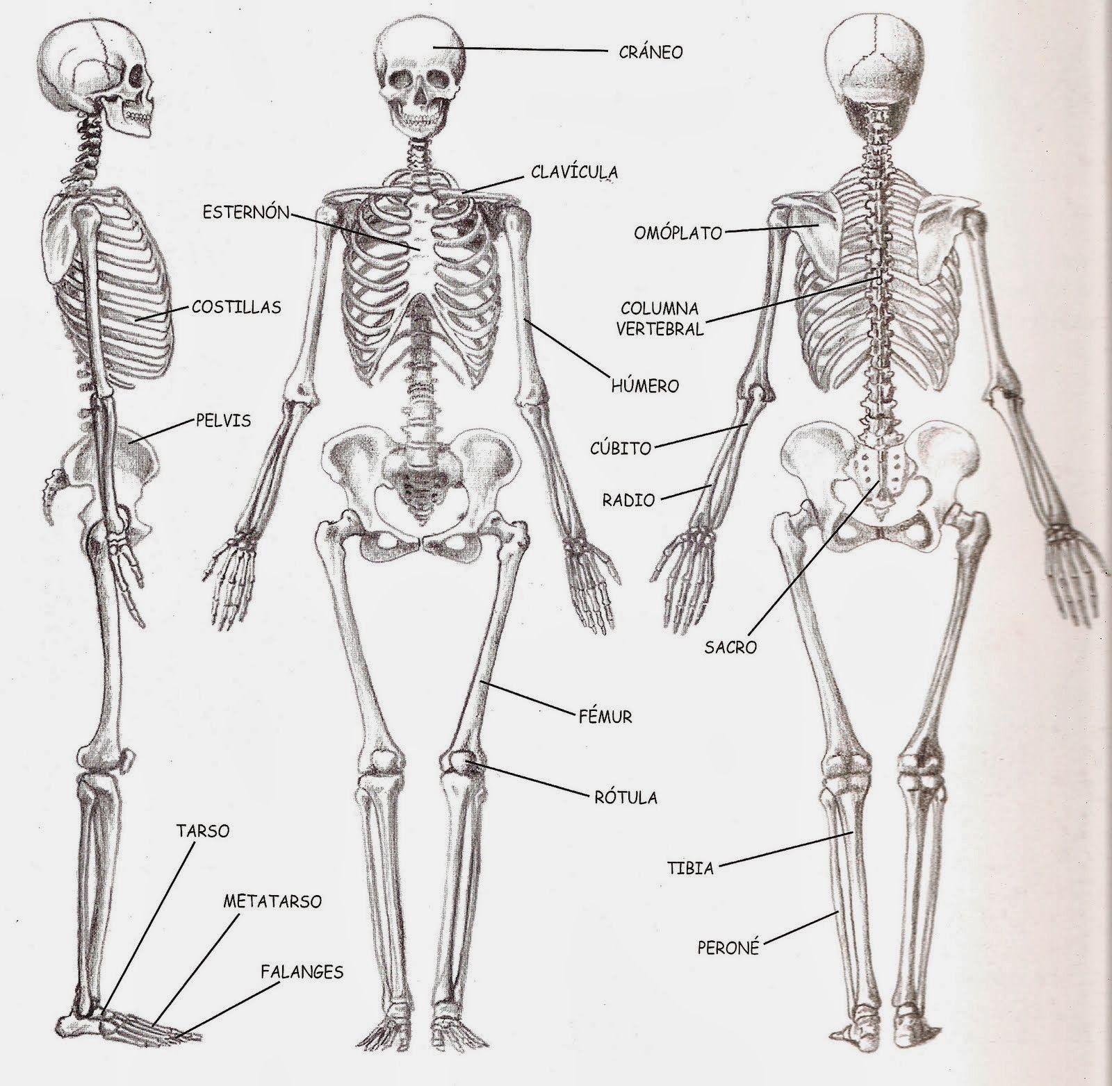 Las estructuras óseas y articulares del cuerpo humano Parte 1: el ...