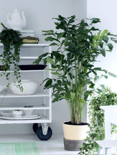 le caryota beaut s tropicales planter un palmier. Black Bedroom Furniture Sets. Home Design Ideas