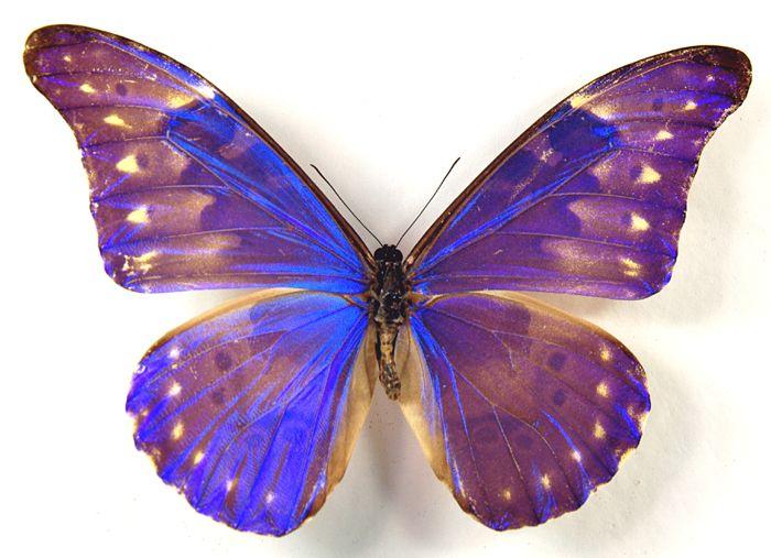 b0fdd200c Rarest Butterfly in the World | Rarest Butterfly In The World Of the rarest  butterflies