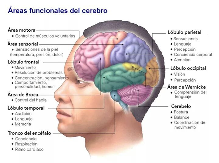 áreas Funcionales Del Cerebro Traumatic Brain Injury Brain Injury Awareness Brain Injury