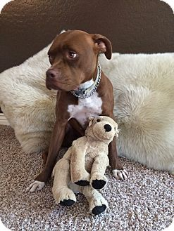 Pin By Moe Grealis On Dogs Terrier American Staffordshire Dogs
