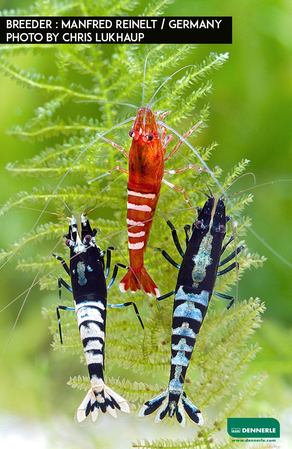 Freshwater Shrimps   Aquarium fish, Freshwater aquarium ...Freshwater Shrimp Pet