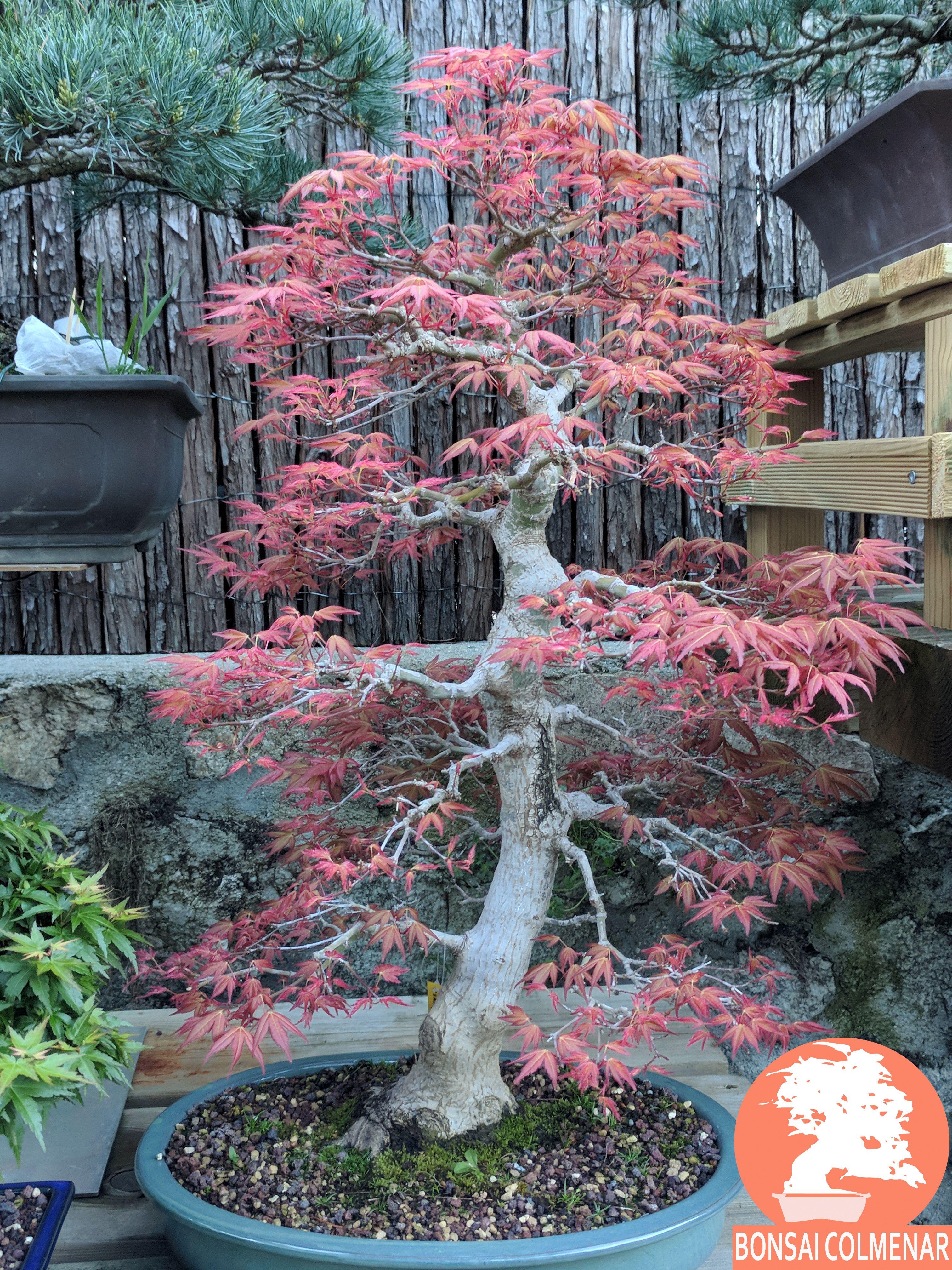 Guardería Para Tus Bonsais En Agosto Abrimos Todos Los Días Continúan Los Cursos Tienda Y Escuela De Bonsai Www Bon Bonsai Jardín De Bonsáis árboles Bonsai