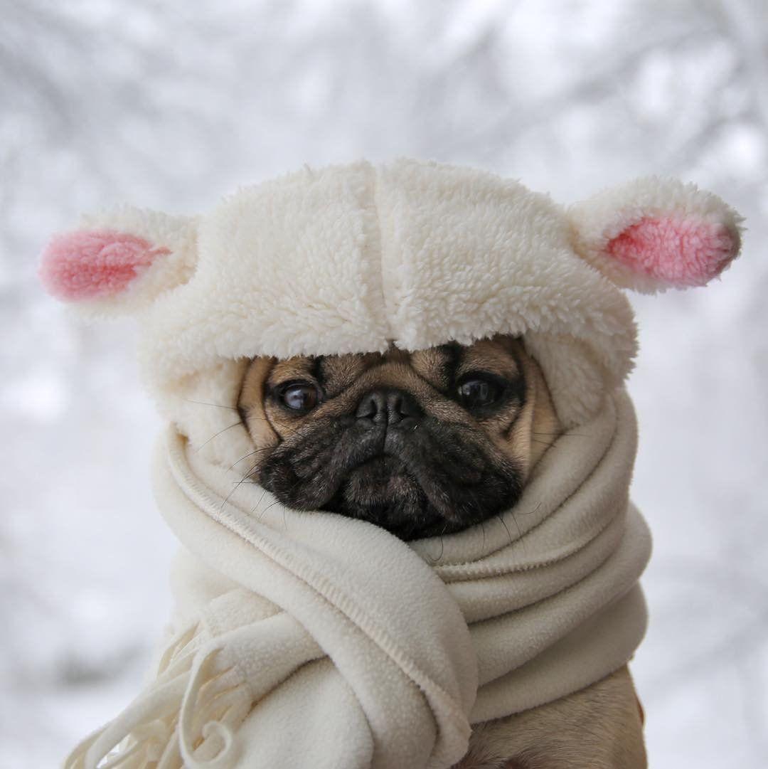 Snow puggy doug doug the pug itsdougthepug on instagram snow puggy doug doug the pug itsdougthepug on thecheapjerseys Image collections