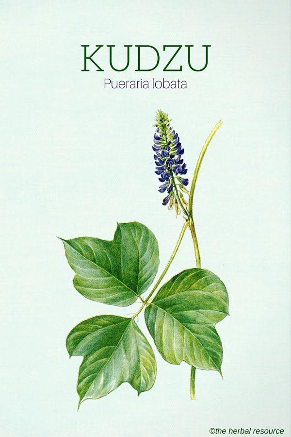 Kudzu Pueraria Lobata Herbalism Herbs Herbs For Health