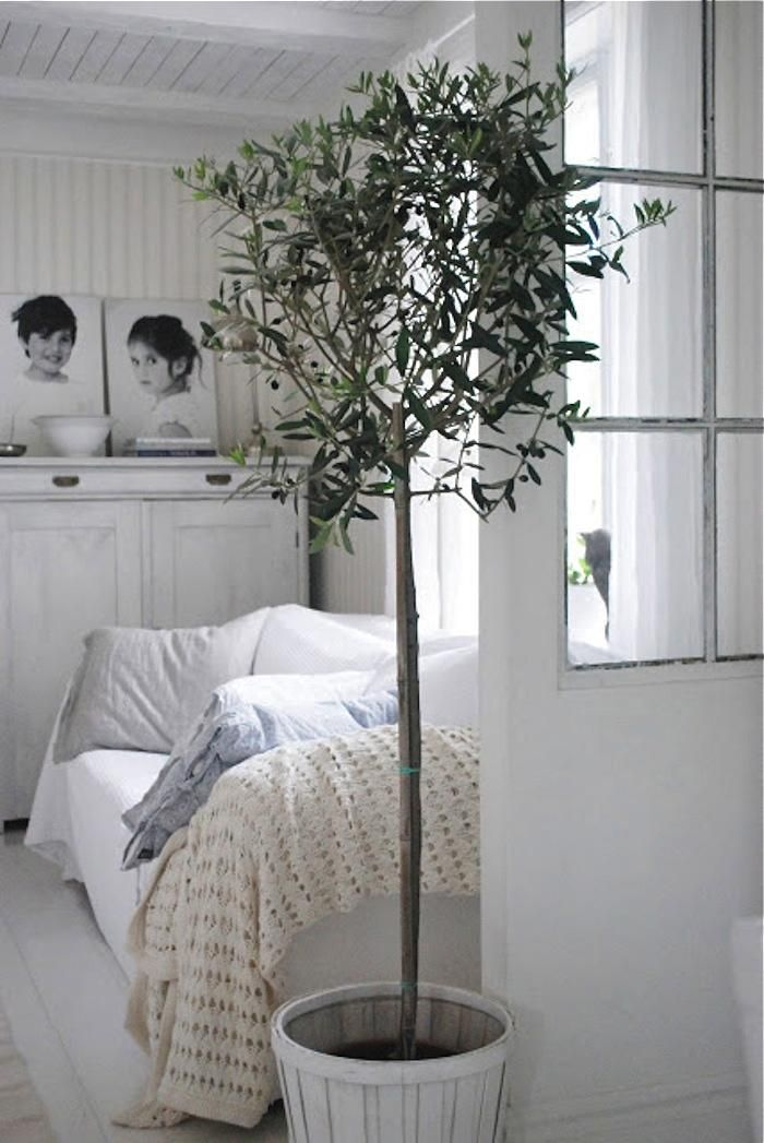 Potted Indoor Olive Tree In White Bedroom Via Gardenista Indoor Olive Tree Indoor Trees Potted Olive Tree