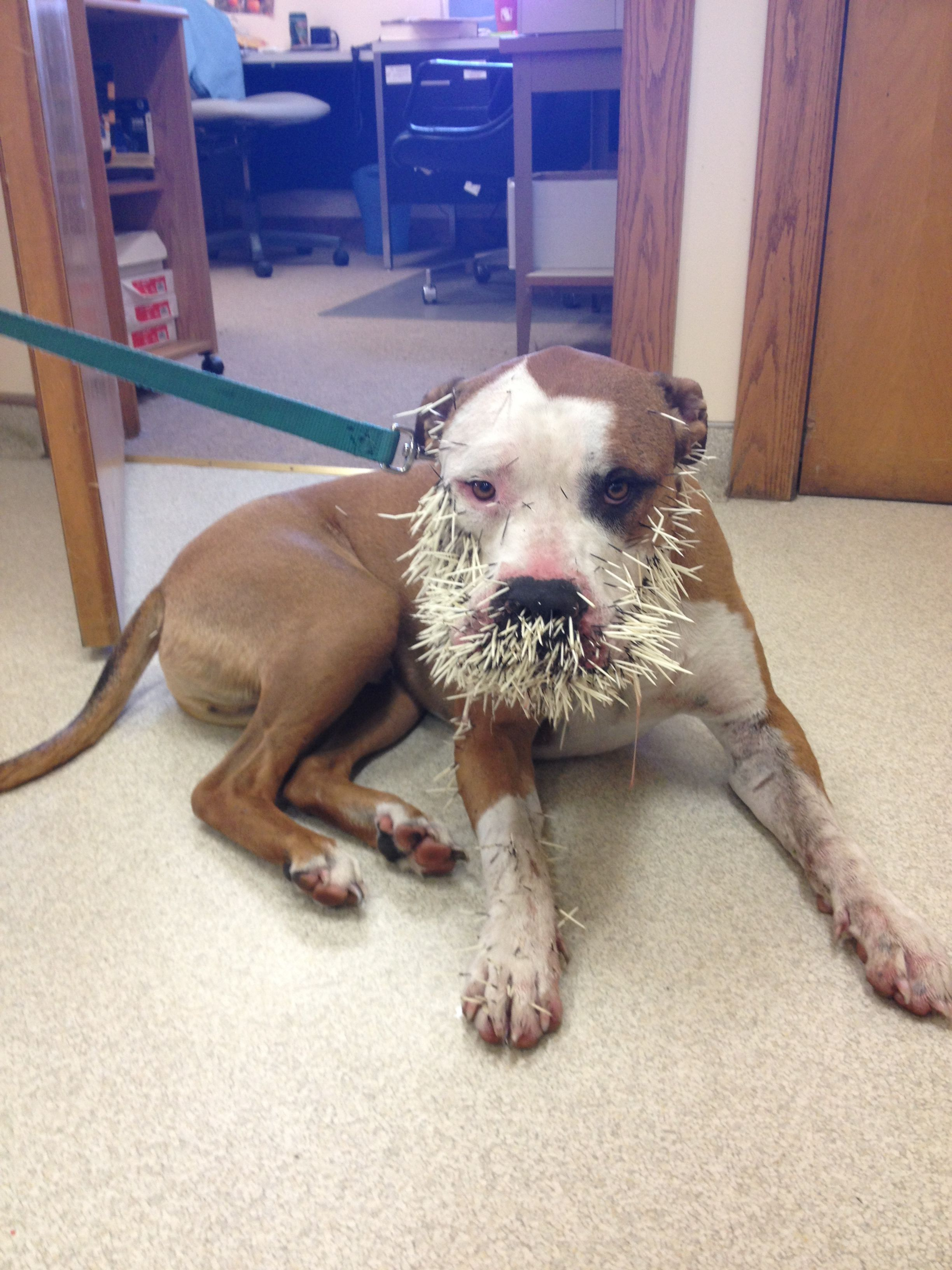 4cd8cad5c767d4200fcf258dbdf884cb - How To Get Porcupine Quills Out Of A Dog