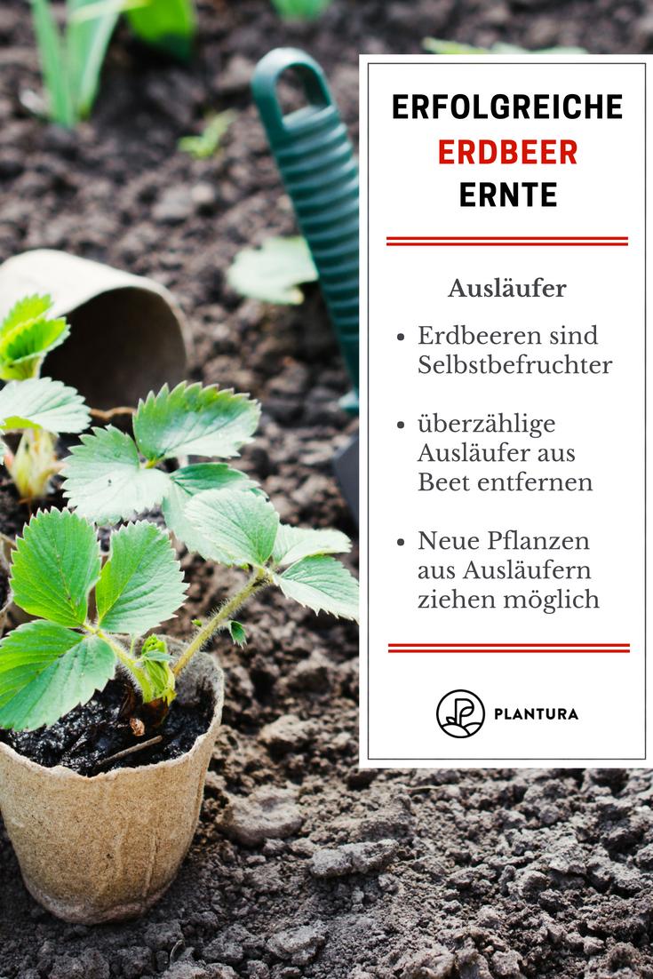 10 Tipps für eine erfolgreiche Erdbeerernte - Plantura