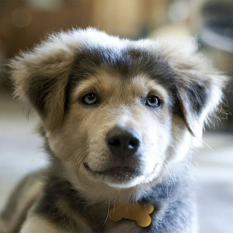 24 Dog Breeds Mixed With Husky Golden Retriever Husky Mix Lab Mix Puppies Golden Retriever Husky