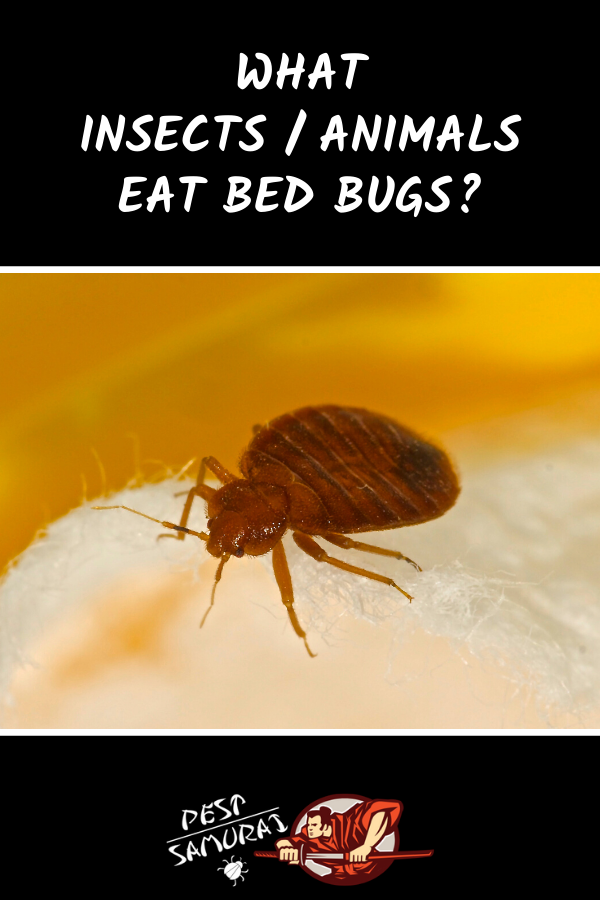 Bed Bug Predators What Insects/Animals Eat Bed Bugs in