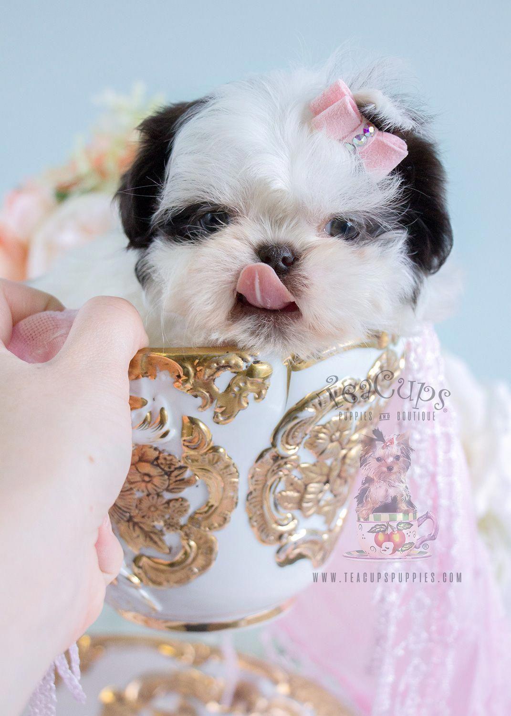 Discover Shih Tzu Puppy Temperament Shihtzusofinstagramuse