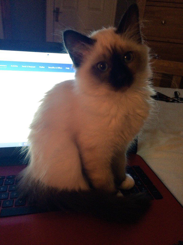 Helpful Coco #Birman #cats #kittens | Siamese and Orientals ...