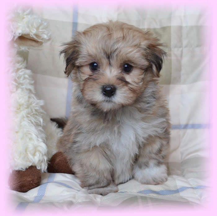 Havanese Intelligent And Funny Hunde Havaneser Hunde Babys