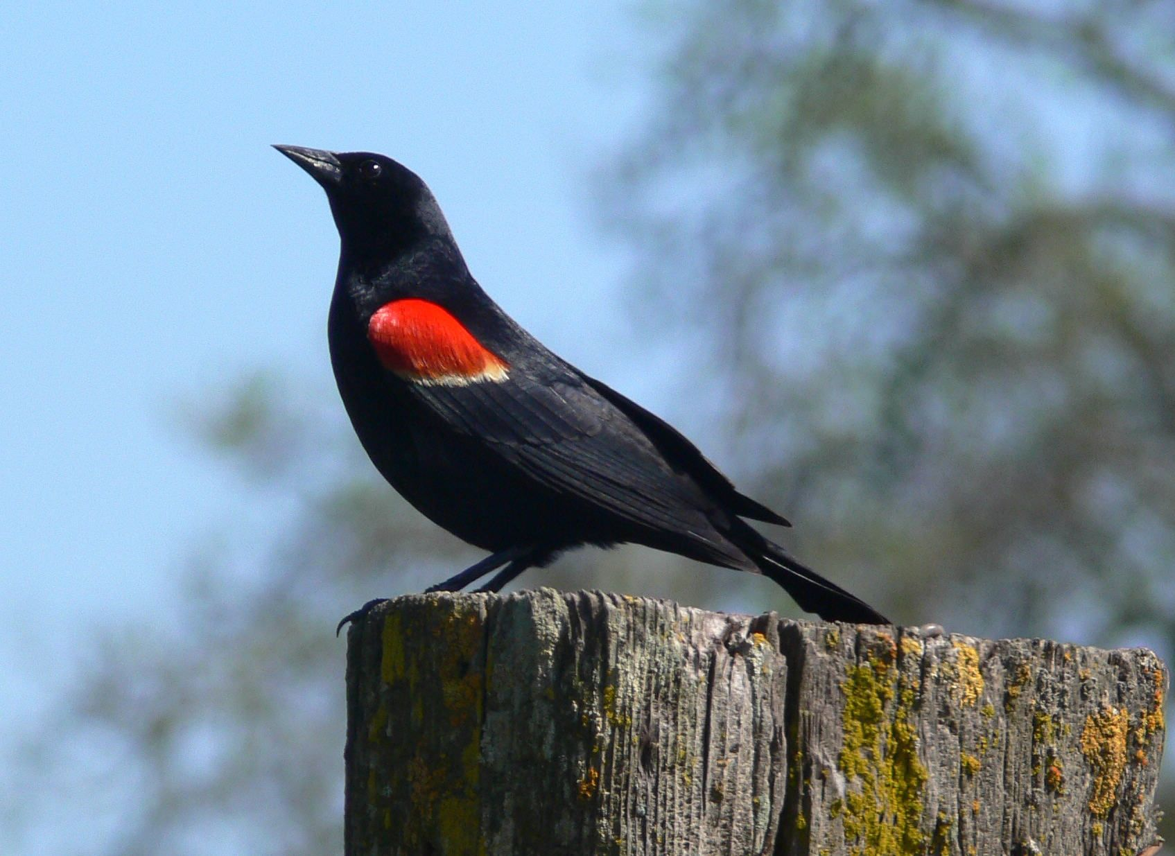 Agelaius phoeniceus - Red-winged Blackbird -- Seen since childhood, first recorded sighting: 7/18/2012 Ithaca, NY