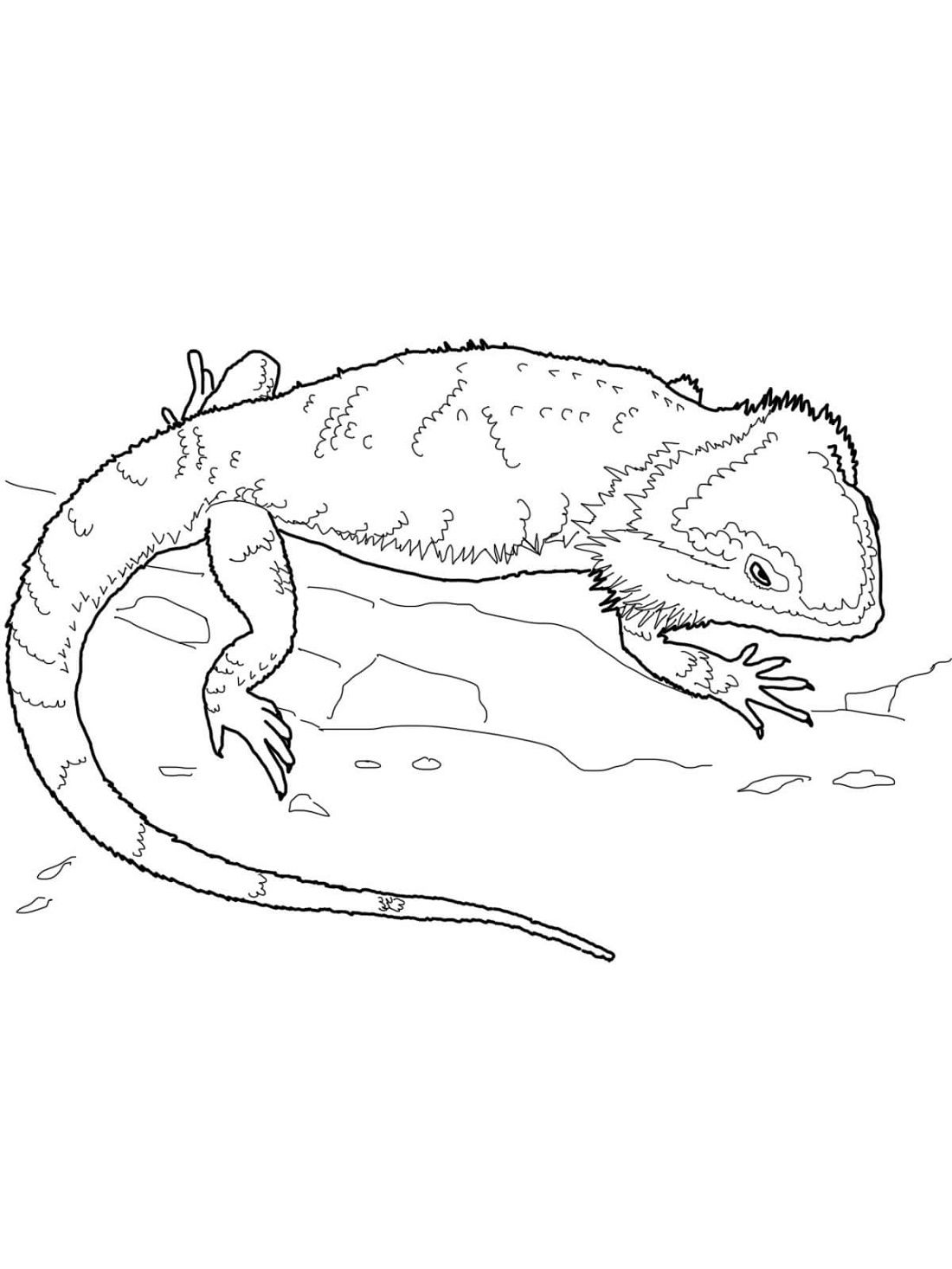 Bearded Dragon Coloring Pages Printable Shelter Dragon Coloring Page Bearded Dragon Colors Dinosaur Coloring Pages