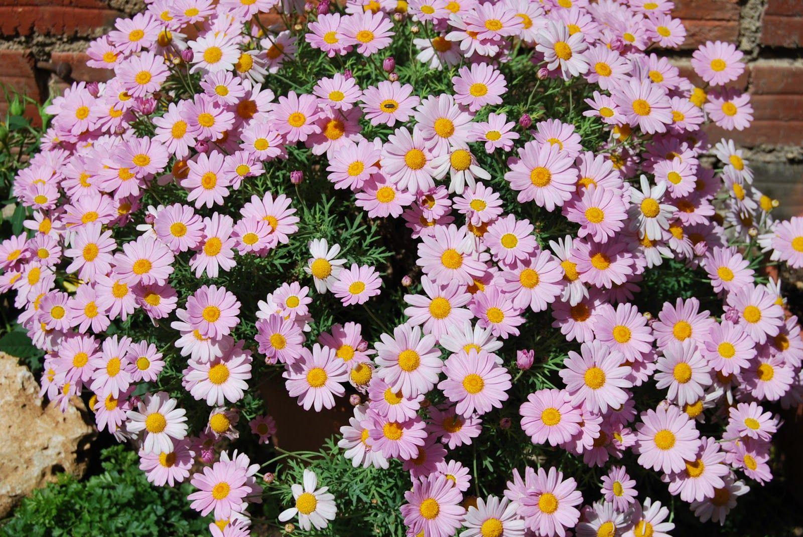 MARGARITA ROSA | Árboles en flor, Cultivo de plantas, Fotos de flores