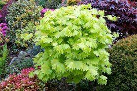Acer Shirasawanum Aureum Garden Japanese Maple Bonsai