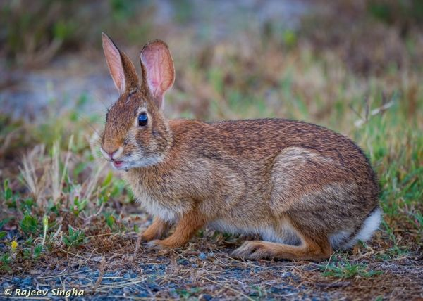 Eastern Cottontail Rabbit Animals Animals Rabbit Peter Rabbit