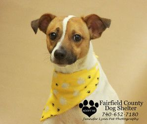 Riley is an adoptable Jack Russell Terrier Dog in Lancaster, OH. THE DOG SHELTER FOUND ME IN THE LANCASTER AREA.� THEY ARE CALLING ME RILEY.� IF MY OWNERS DON'T CLAIM ME, I'LL BE AVAILABLE FOR ADOPTIO...