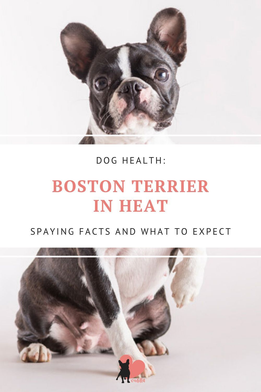 Boston Terriers Heat Cycle Spaying Facts And What To Expect In 2020 Boston Terrier Boston Terrier Temperament Boston Terrier Owner