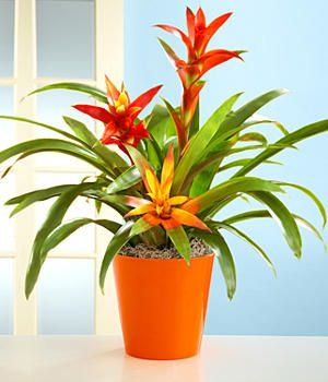 Scarlet Star - Guzmania lingulata - Picture, Care Tips. mine's just had 2 babies, hope i can get them flowering soon!