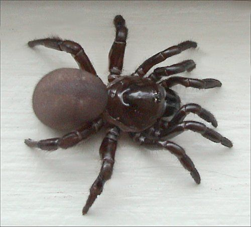 Ummidia Sp Trapdoor Spider Wikipedia The Free