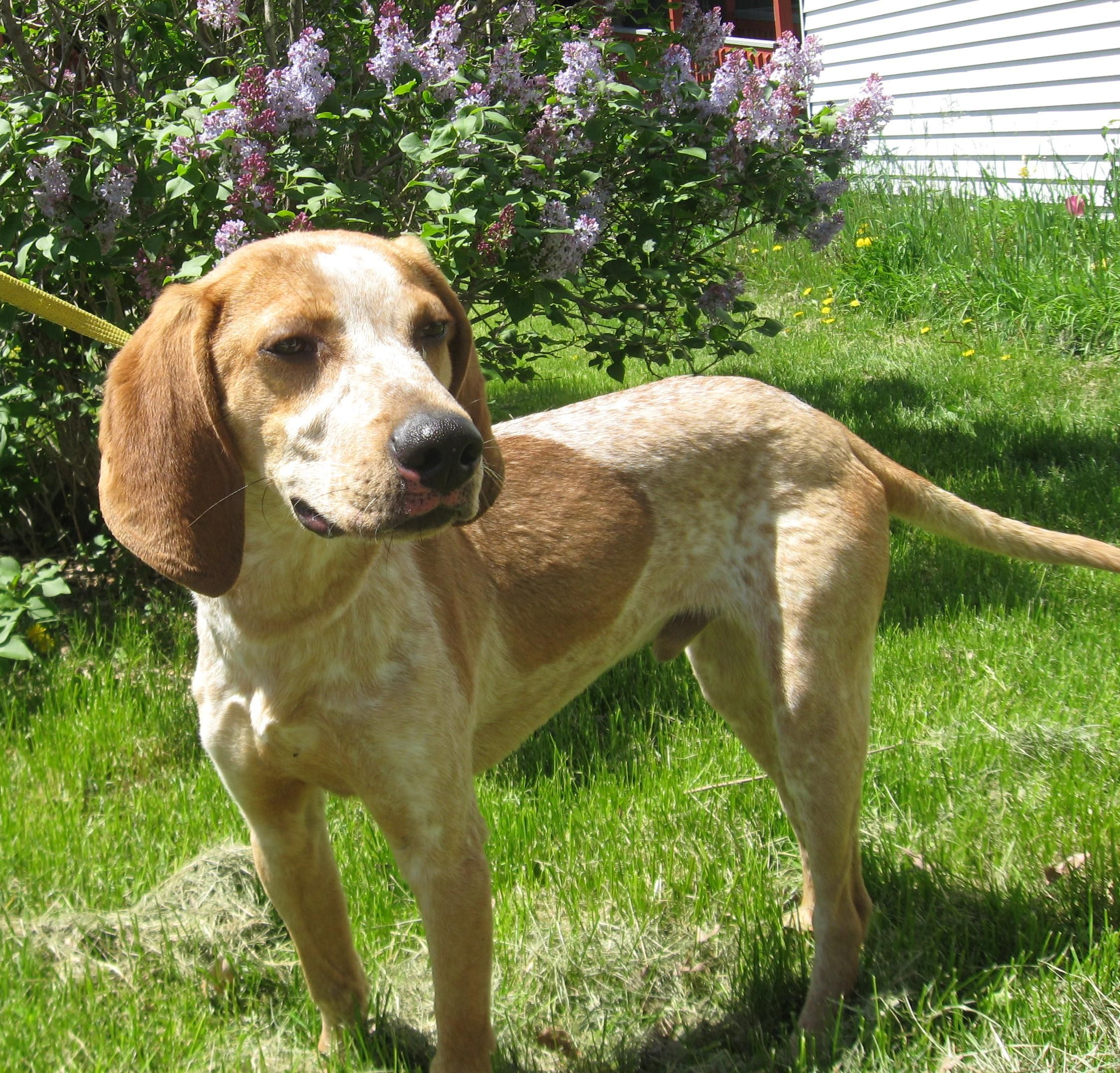 Pin On American English Coonhound