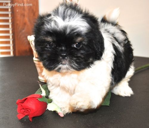 Mazie Female Shih Tzu For Sale In Fitchburg Ma 900 3929941566 3929941566 Dogs On Oodle Marketplace With Images Puppies Dogs Shih Tzu