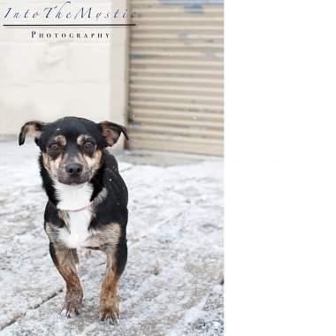 Meet Eddie 2 A Petfinder Adoptable Chihuahua Dog Calgary Ab