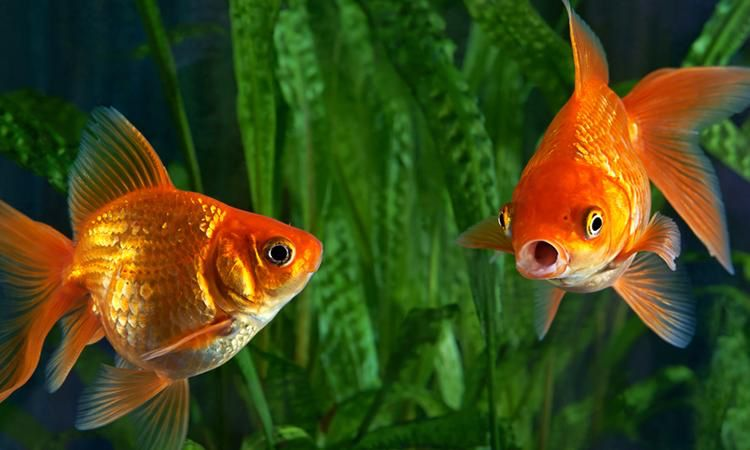 Goldfish Have Great Memories Thank You Very Much Goldfish Aquarium Goldfish Goldfish Types