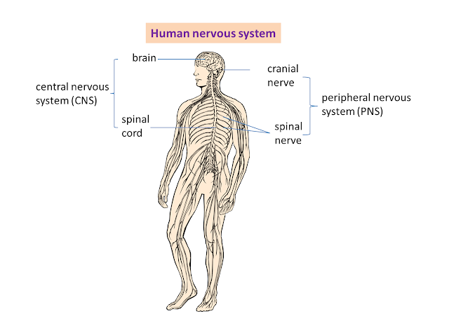 The Nervous System Is The Sensory And Control Apparatus Consisting Of A Network Of Nerve Cells Peripheral Nervous System Nervous System Diagram Sciatic Nerve
