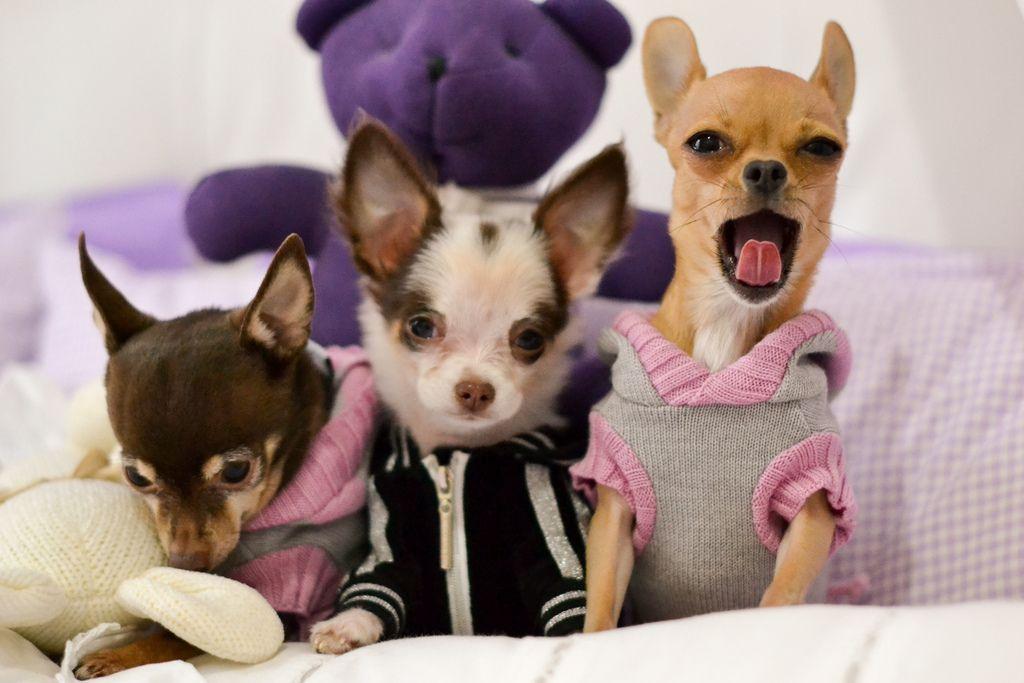 Contagious Cute Chihuahua Baby Chihuahua Chihuahua Love