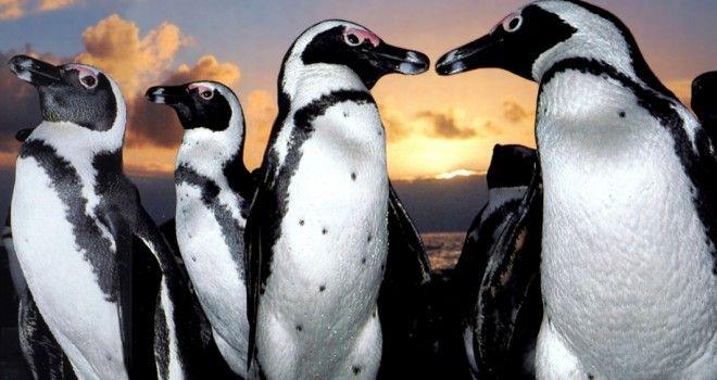 Curioso Blogger Un Seguro De Vida Para Los Pingüinos En Chile Vídeo Especies En Peligro De Extinción Pinguino De Magallanes Animales
