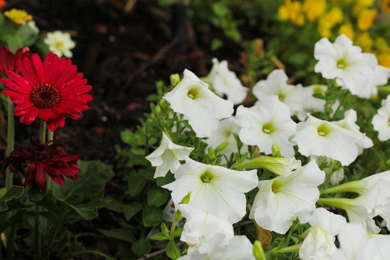 Zone 5 Annuals  Choosing Cold Hardy Annual Plants