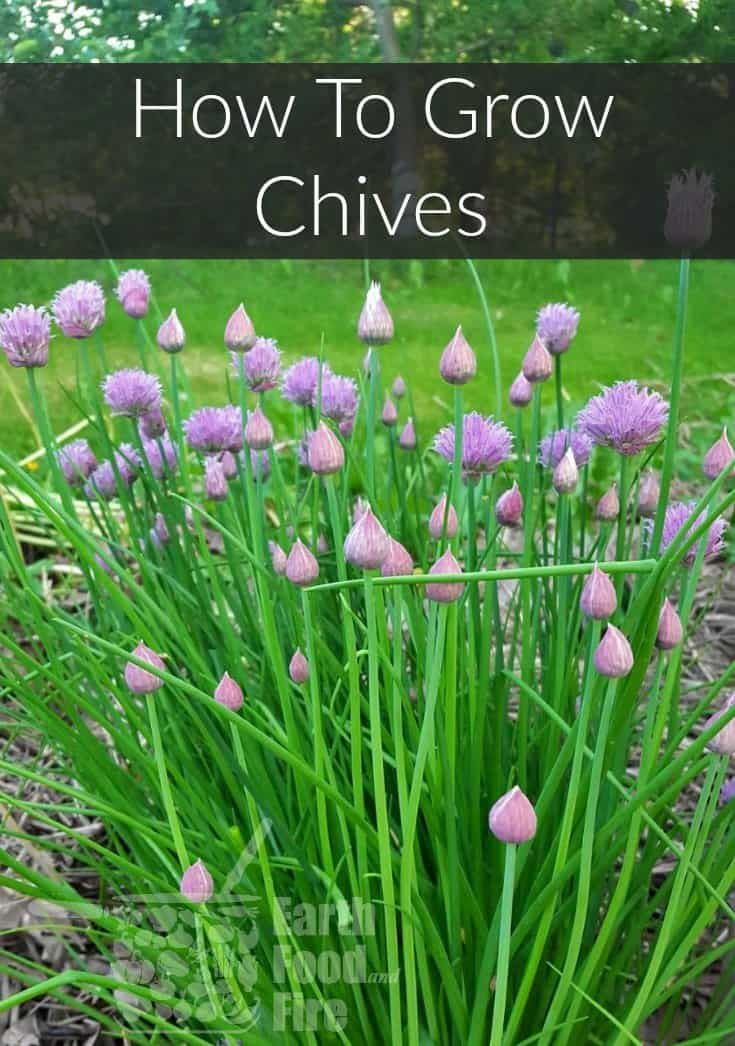 Growing Your Own Fresh Chives Growing Chives Chives Plant Home Vegetable Garden