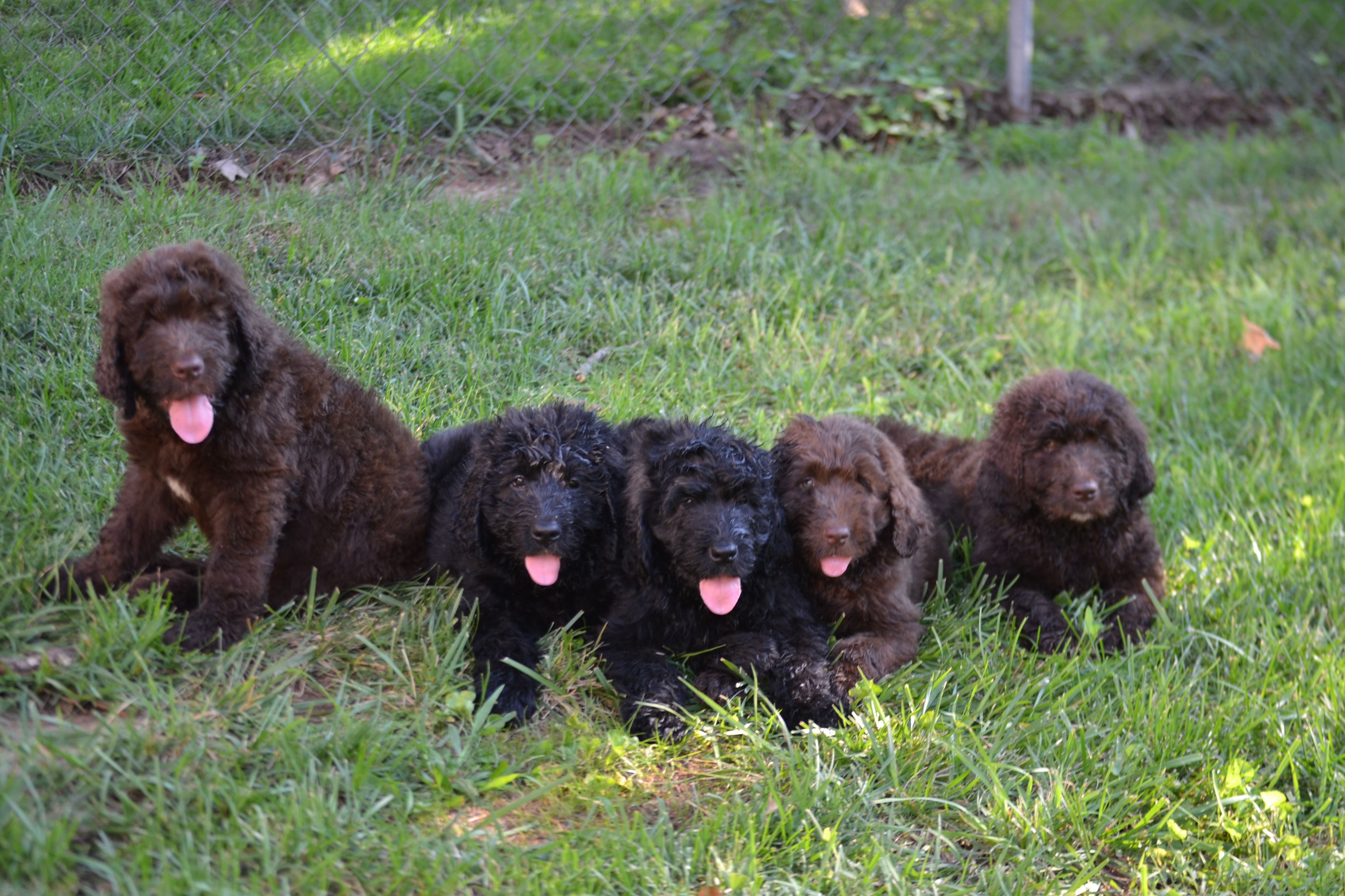 Gorgeous Newfypoo Puppies Up For Adoption Newfiedoodle Newfypoo Newfy Poodle Puppy Puppies Newfypoopuppies F1b Puppies Puppies For Sale Poodle