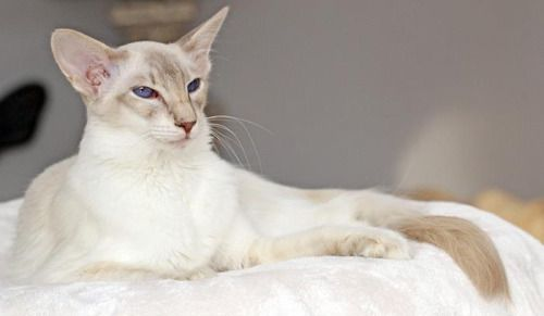Jademond Inui Lilac Tabby Point Balinese Balinese Cat Cats Oriental Shorthair Cats