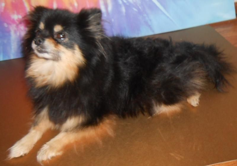 Pomsky Puppies For Sale In Oklahoma City 6 Cute Pomsky Puppies