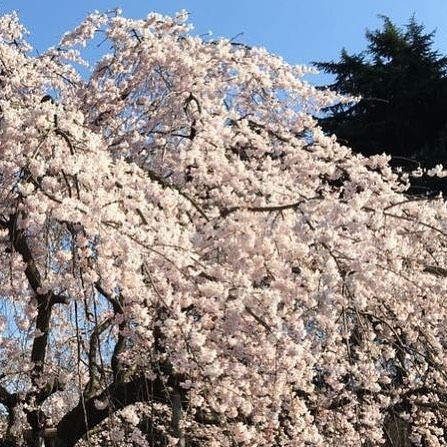 We have the official Sakura bloom date  this year is March 31 )  This is at Shinjuku